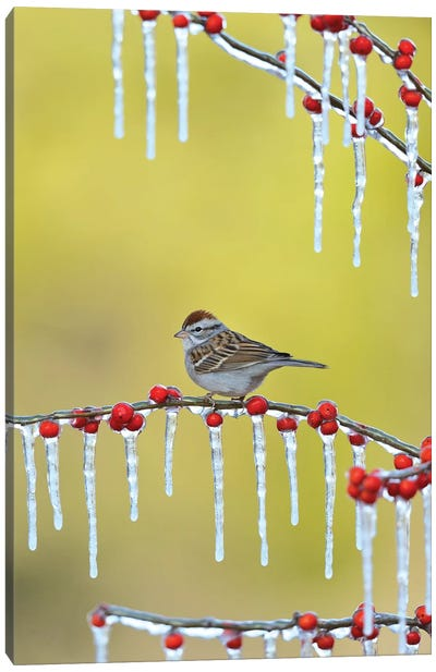 Chipping Sparrow perched on icy Possum Haw Holly, Hill Country, Texas, USA Canvas Art Print