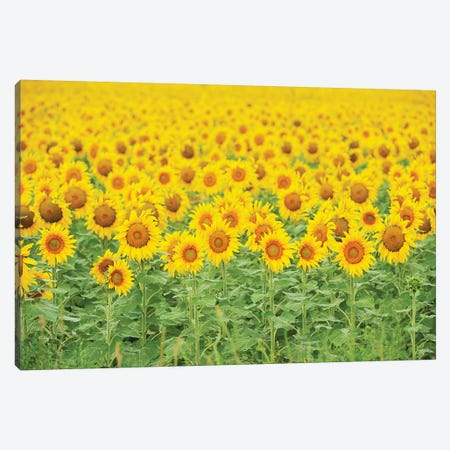 Common Sunflower, Helianthus annuus, field in bloom, Texas, USA Canvas Print #RNU7} by Rolf Nussbaumer Canvas Art