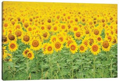 Common Sunflower, Helianthus annuus, field in bloom, Texas, USA Canvas Art Print