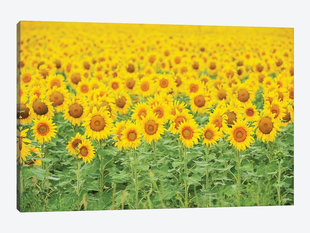 Common Sunflower, Helianthus annuus, field in bloom, Texas, USA by Rolf Nussbaumer 1-piece Canvas Wall Art