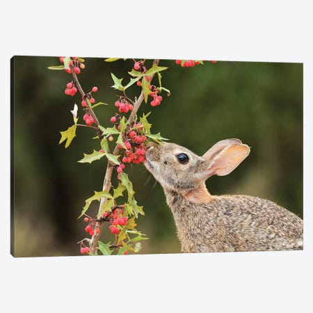Eastern Cottontail eating Agarita berries, South Texas, USA Canvas Print #RNU8} by Rolf Nussbaumer Canvas Art Print
