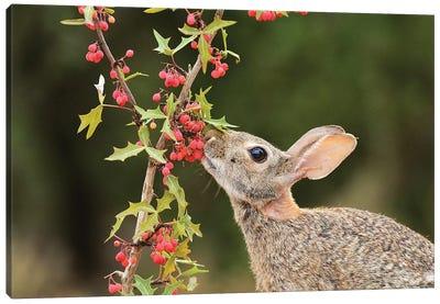 Eastern Cottontail eating Agarita berries, South Texas, USA Canvas Art Print