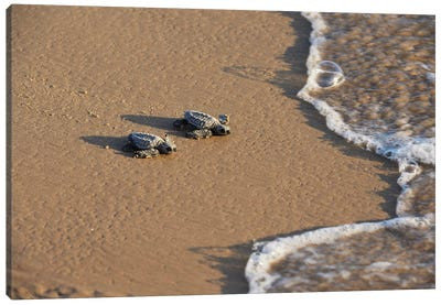 Kemp's riley sea turtle baby turtles walking towards surf, South Padre Island, South Texas, USA Canvas Art Print