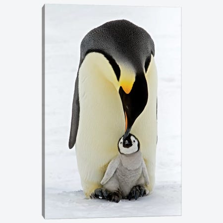 Emperor Penguin Parent Feeding Chick, Antarctica Canvas Print #ROR1} by Rob Reijnen Art Print