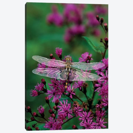 Lone Dragonfly On A Joe-Pye Weed Canvas Print #ROT3} by Nancy Rotenberg Canvas Art Print