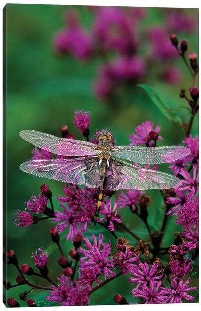 Lone Dragonfly On A Joe-Pye Weed Canvas Print #ROT3