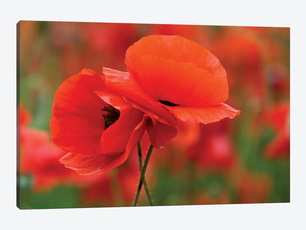 Intertwined Poppy Couple, North Carolina, USA by Nancy Rotenberg 1-piece Canvas Artwork