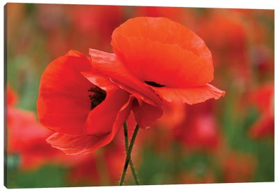 Intertwined Poppy Couple, North Carolina, USA Canvas Art Print