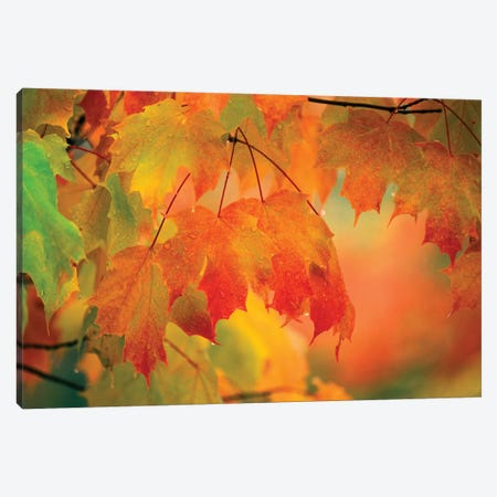 Autumn Maple Leaves Covered In Rain Canvas Print #ROT8} by Nancy Rotenberg Canvas Art Print