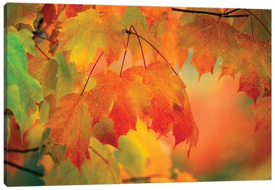 Autumn Maple Leaves Covered In Rain Canvas Art Print