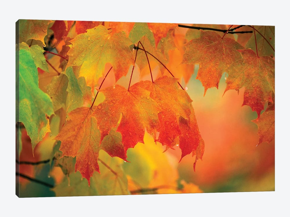 Autumn Maple Leaves Covered In Rain by Nancy Rotenberg 1-piece Canvas Print