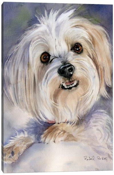 Maltese Portrait Rachel Varner Canvas Art Print