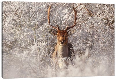 Fallow Deer & Frost Canvas Art Print