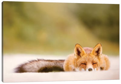 Lazy Fox Is Lazy Canvas Art Print