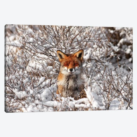 Snow Fox Canvas Print #RRA34} by Roeselien Raimond Canvas Artwork