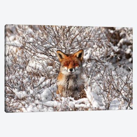 Snow Fox Canvas Print #RRA34} by Roeselien Raimond Canvas Artwork