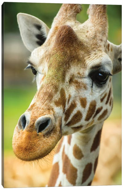 Close-Up Of A Reticulated Giraffe At The Jacksonville Zoo. Canvas Art Print