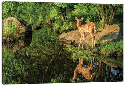 White-Tailed Deer Fawn And Foliage Reflected In The Water, USA, Minnesota, Sandstone, Minnesota Wildlife Connection. Canvas Art Print
