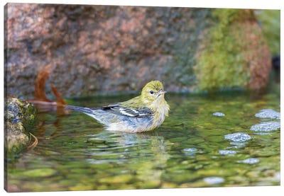 Bay-breasted Warbler (Setophaga castanea) taking a bath, Marion County, Illinois Canvas Art Print