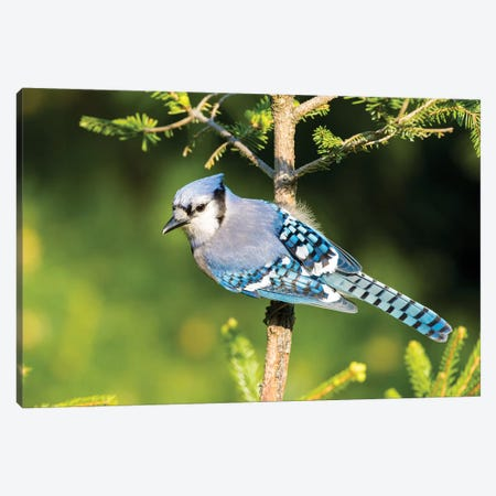 Blue Jay (Cyanocitta cristata) in spruce tree. Marion County, Illinois. Canvas Print #RSD11} by Richard & Susan Day Canvas Print