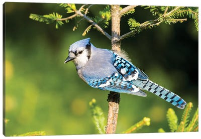 Blue Jay (Cyanocitta cristata) in spruce tree. Marion County, Illinois. Canvas Art Print