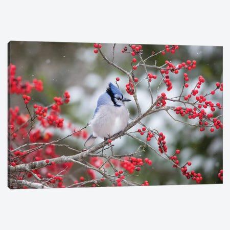 Blue Jay (Cyanocitta cristata) in Winterberry Bush, Marion County, Illinois Canvas Print #RSD12} by Richard & Susan Day Canvas Art Print