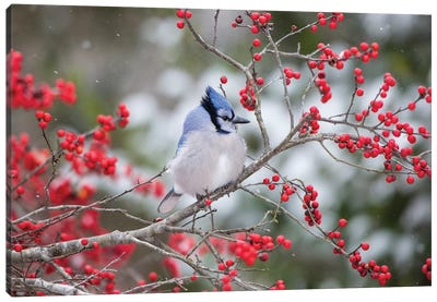 Blue Jay (Cyanocitta cristata) in Winterberry Bush, Marion County, Illinois Canvas Art Print
