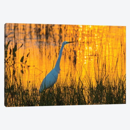 Great egret (Ardea alba) at sunset. Viera Wetlands, Brevard County, Florida. Canvas Print #RSD14} by Richard & Susan Day Canvas Wall Art