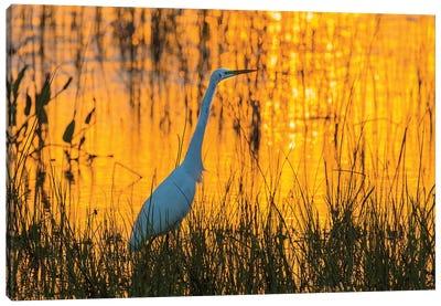 Great egret (Ardea alba) at sunset. Viera Wetlands, Brevard County, Florida. Canvas Art Print