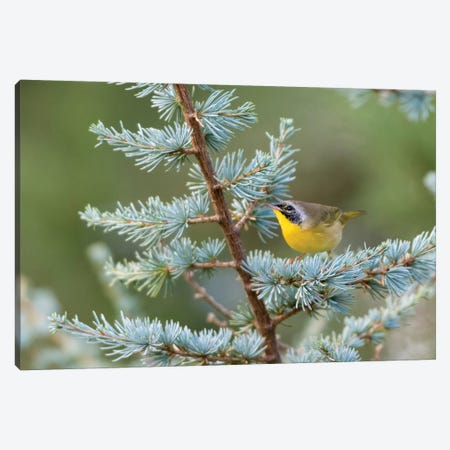 Male common yellowthroat (Geothlypis Trichas) in Blue Atlas Cedar. Marion County, Illinois. Canvas Print #RSD16} by Richard & Susan Day Canvas Art