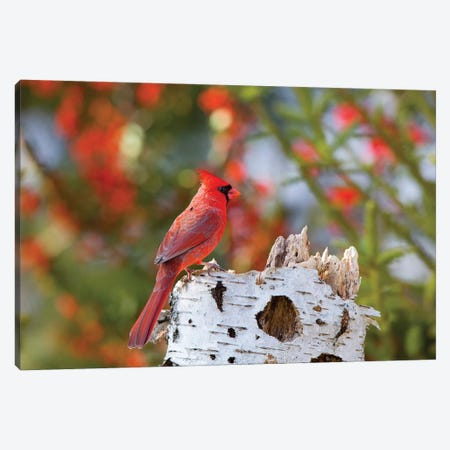 Male northern cardinal . Marion County, Illinois. Canvas Print #RSD17} by Richard & Susan Day Canvas Wall Art