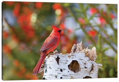 Male northern cardinal . Marion County, Illinois. Canvas Art Print