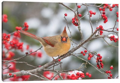 Male northern cardinal in winterberry bush. Marion County, Illinois. Canvas Art Print