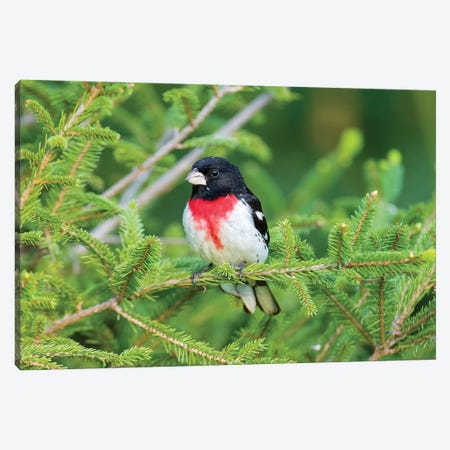 Male rose-breasted Grosbeak (Pheucticus ludovicianus) in spruce tree. Marion County, Illinois. Canvas Print #RSD21} by Richard & Susan Day Canvas Artwork