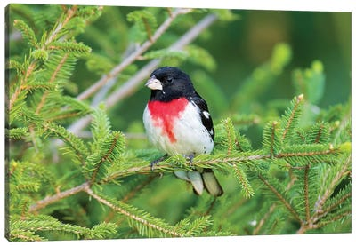 Male rose-breasted Grosbeak (Pheucticus ludovicianus) in spruce tree. Marion County, Illinois. Canvas Art Print
