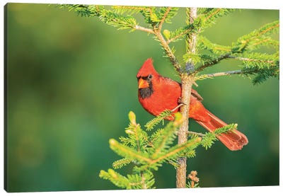 Northern Cardinal male in spruce tree, Marion County, Illinois Canvas Art Print