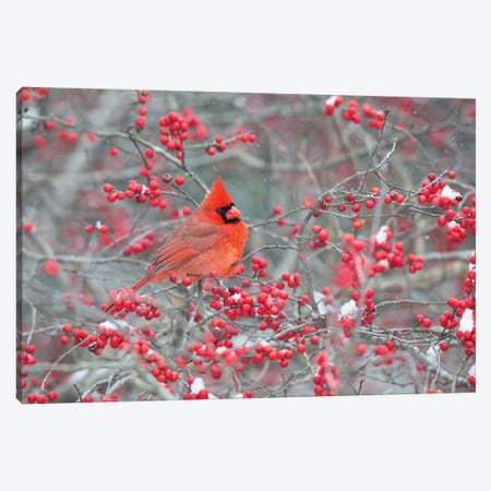 Northern Cardinal male in Winterberry bush, Marion County, Illinois Canvas Print #RSD25} by Richard & Susan Day Canvas Art Print
