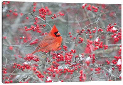 Northern Cardinal male in Winterberry bush, Marion County, Illinois Canvas Art Print