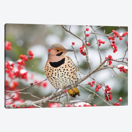 Northern Flicker (Colaptes auratus) male in Winterberry bush in winter, Marion County, Illinois Canvas Print #RSD26} by Richard & Susan Day Art Print