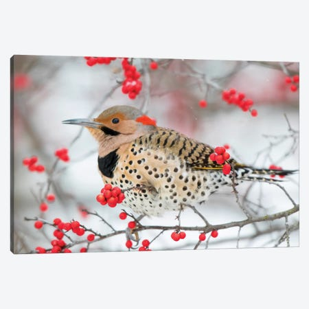Northern Flicker (Colaptes auratus) male in Winterberry bush in winter, Marion County, Illinois Canvas Print #RSD27} by Richard & Susan Day Canvas Print