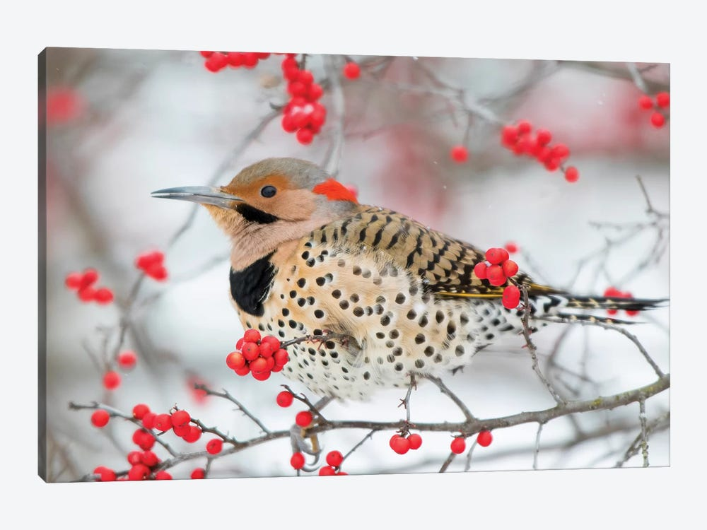 Northern Flicker (Colaptes auratus) male in Winterberry bush in winter, Marion County, Illinois by Richard & Susan Day 1-piece Canvas Print