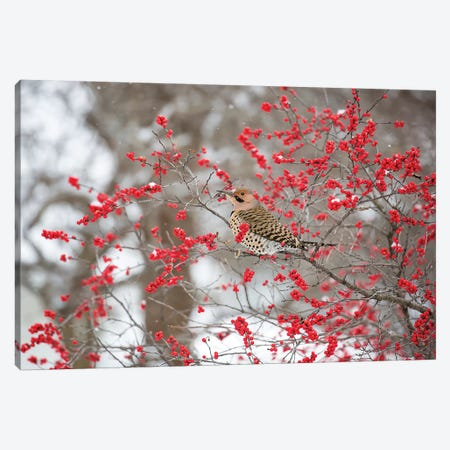 Northern Flicker (Colaptes auratus) male in Winterberry bush in winter, Marion County, Illinois Canvas Print #RSD28} by Richard & Susan Day Canvas Artwork