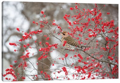 Northern Flicker (Colaptes auratus) male in Winterberry bush in winter, Marion County, Illinois Canvas Art Print