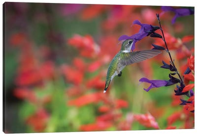 Ruby-throated hummingbird on purple majesty salvia. Marion County, Illinois. Canvas Art Print