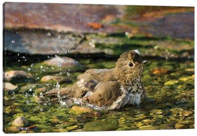 Swainson's thrush (Catharus ustulatus) taking bath. Marion County, Illinois. Canvas Art Print