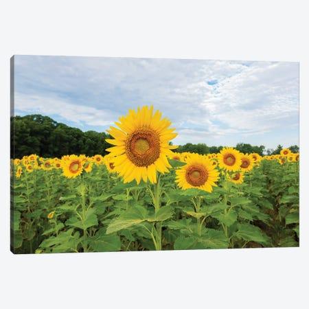 Sunflowers in field, Jasper County, Illinois. Canvas Print #RSD34} by Richard & Susan Day Canvas Wall Art