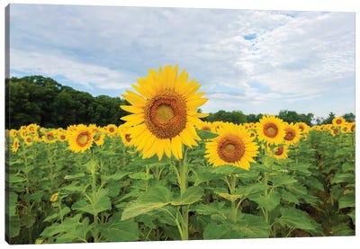 Sunflowers in field, Jasper County, Illinois. Canvas Art Print