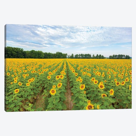Sunflowers in field, Jasper County, Illinois. Canvas Print #RSD35} by Richard & Susan Day Canvas Wall Art