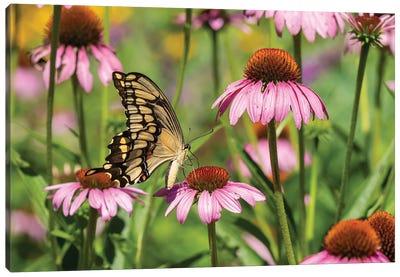 Giant Swallowtail on Purple Coneflower. Marion County, Illinois, USA. Canvas Art Print