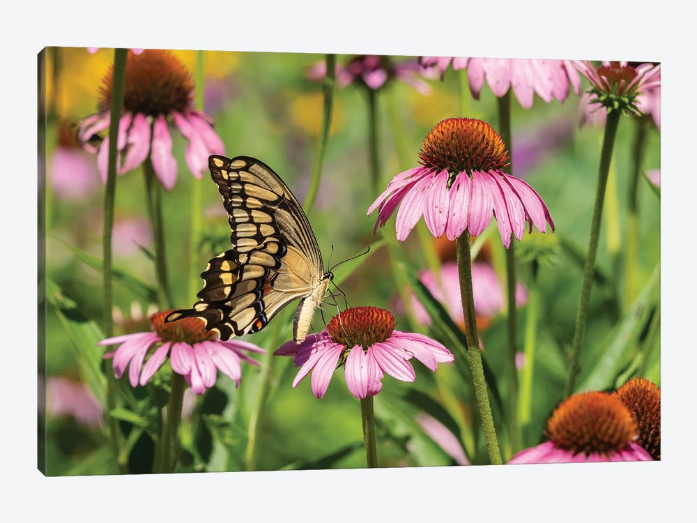 Giant Swallowtail on Purple Coneflower. Marion County, Illinois, USA. by Richard & Susan Day 1-piece Canvas Print